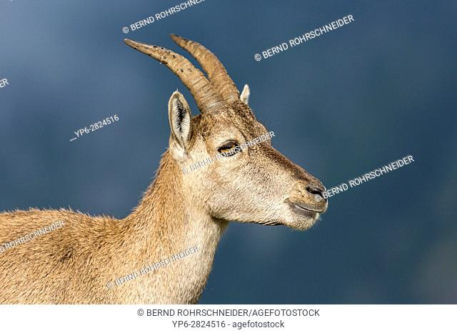 Alpine Ibex (Capra ibex), portrait of an adult female, Niederhorn, Bernese Oberland, Switzerland