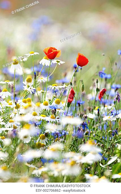 czech republic, southern bohemia - wild flowers on the meadow near town of tabor