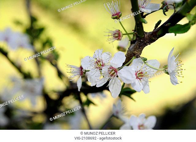 SPAIN, VALENCIA, Cherry blossom (Prunus avium tree). - Valencia, Valencian Community, SPAIN, 01/01/2010