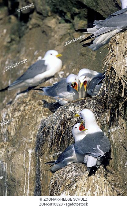 Dreizehenmoewen streiten sich um die besten Nistplaetze am Vogelfelsen / Black-legged Kittiwakes struggle about the best nesting places at a bird rock -...