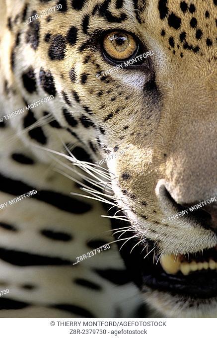 Panthera onca. Jaguar close-up. French Guiana