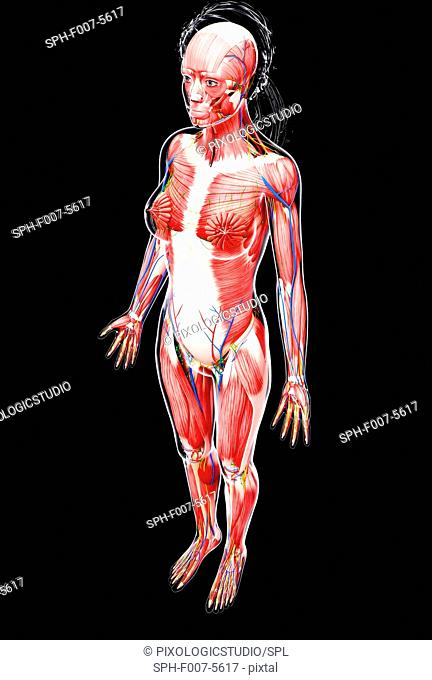 Female anatomy, computer artwork