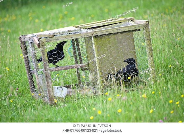 Carrion Crow Corvus corone two adults, in larsen trap, pest control on farm, England, june