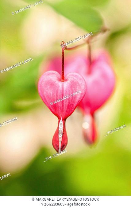 Bleeding Heart flowers (Dicentra spectabilis) macro shot