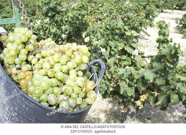 Grape harvest of Muscat grapes. Alicante, Spain