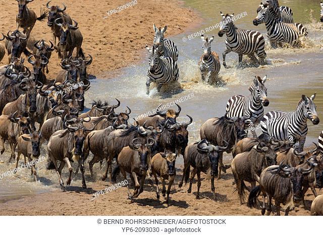 White-bearded Wildebeest (Connochaetes taurinus) and Plain Zebras (Equus quagga) crossing Talek River, Masai Mara, Kenya