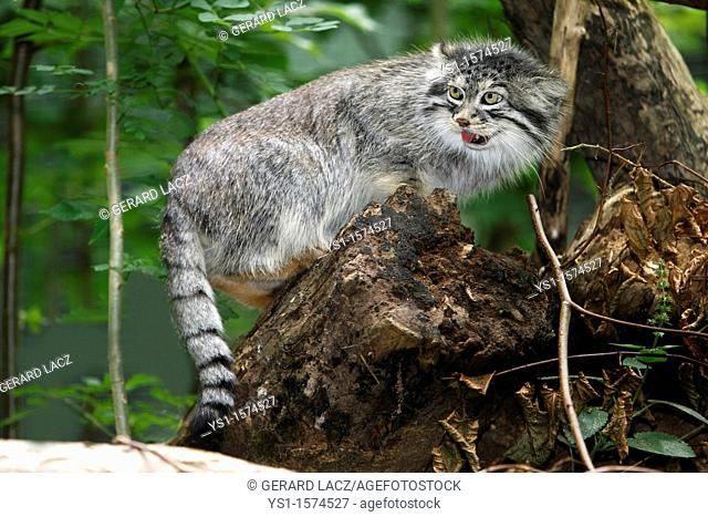 Manul or Pallas's Cat, otocolobus manul, Adult standing on Stump