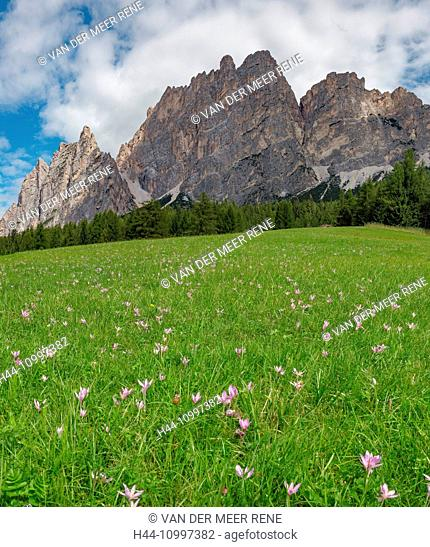 Cortina d'Ampezzo, Italia, Dolomite mountain Pomagagnon, field with autumn crocus