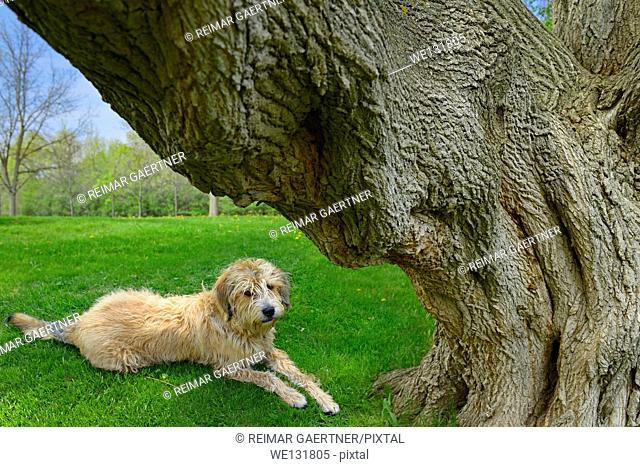 Scruffy dog lying on grass under the large trunk of a Manitoba Maple tree in a Toronto Park