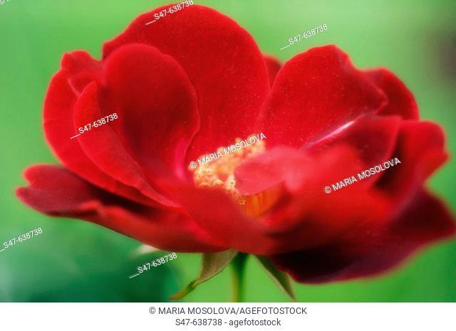 Red Rose. Rosa hybrid. May 2006, Maryland, USA