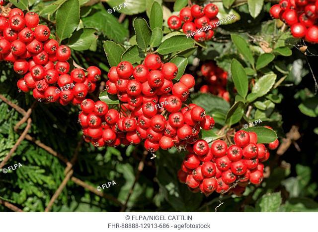 Firethorn, Pyracantha coccinea, red mass of berries, garden shrub in autumn, Berkshire, England, September