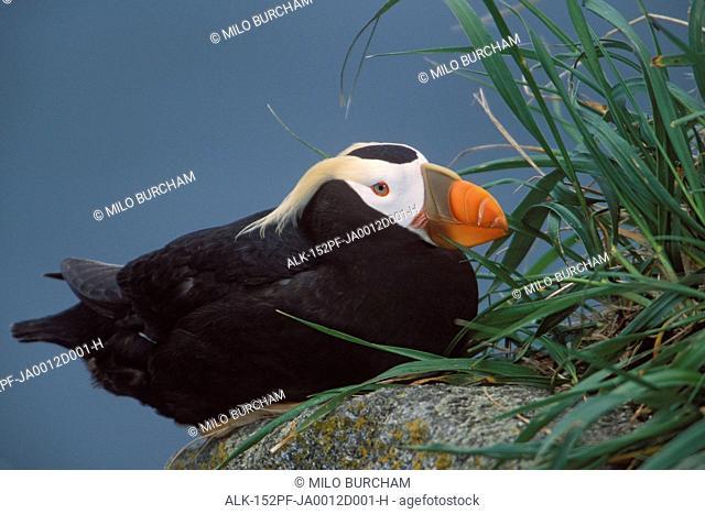 Tufted Puffin perched on rock ledge, Saint Paul Island, Pribilof Islands, Bering Sea, Southwest Alaska