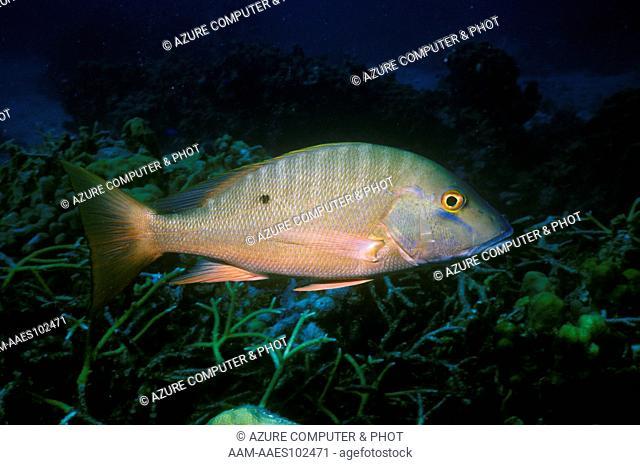 Mutton Snapper (Lutjanus analis) - Cayman Islands