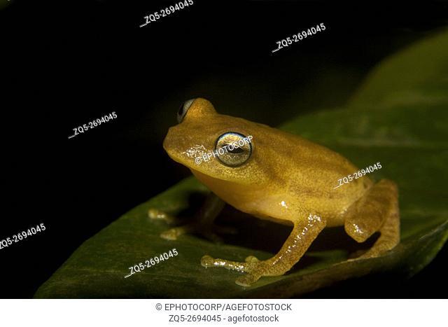 Bush Frog photographed at Coorg, Karnataka