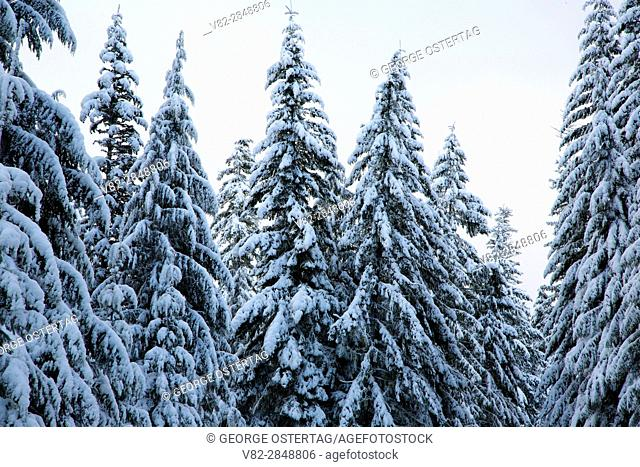 Snowy forest, Willamette National Forest, Oregon