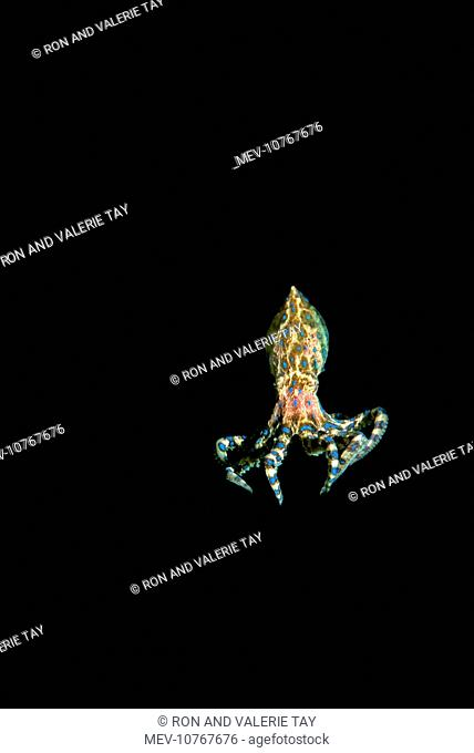 Southern Blue-Ringed Octopus (Hapalochlaena maculosa)