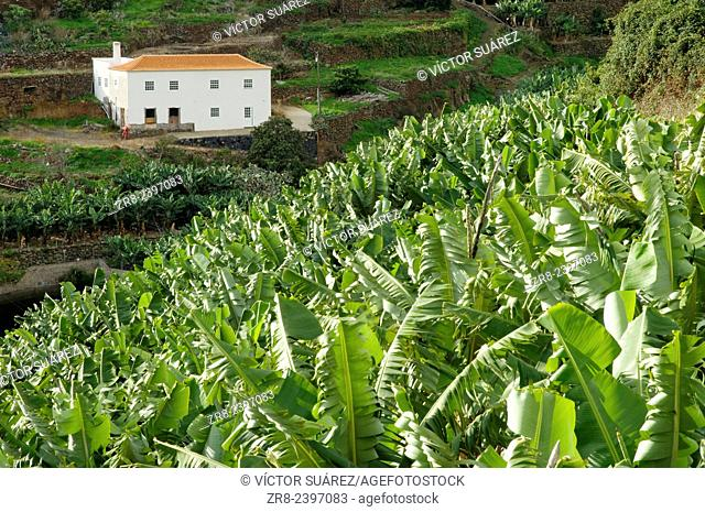 Banana plantations (Musa acuminata) and house. San Andrés y Sauces. La Palma. Canary Islands. Spain