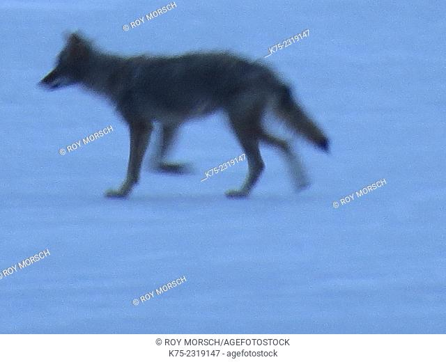 Eastern coyote running on ice