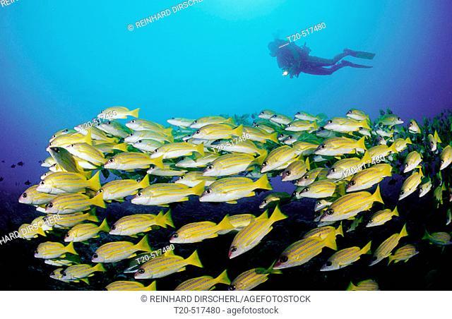 Schooling fivelined snapper and scuba diver, Lutjanus quinquelineatus. Indian Ocean, Ari Atoll. Maldives Islands