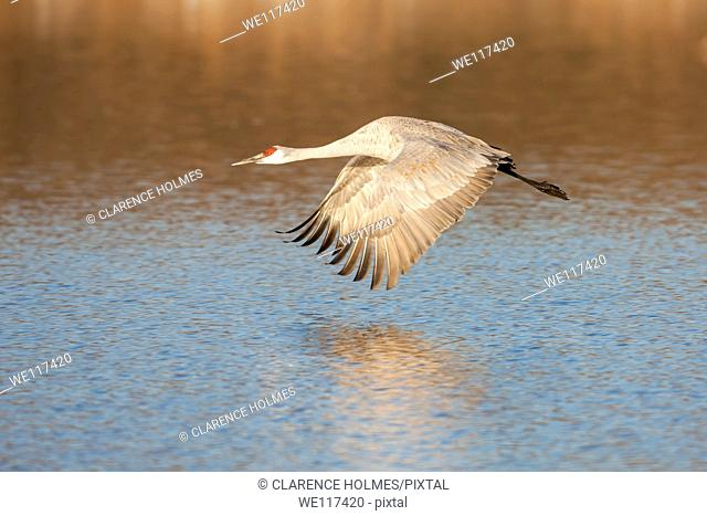 A Sandhill Crane Grus canadensis takes off into flight from a pool of water in search of food at Bosque del Apache National Wildlife Refuge, San Antonio