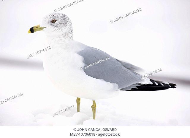 Ring-billed Gull - adult standing in snow (Larus delawarensis)