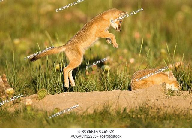 Swift fox Vulpes velox, kit leaping at sibling in play, at den, near Pawnee National Grassland, Colorado