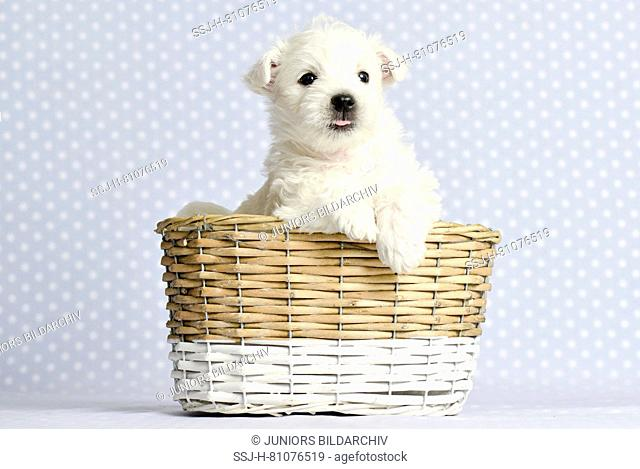 West Highland White Terrier. Puppy (4 weeks old) in a basket. Studio picture. Germany