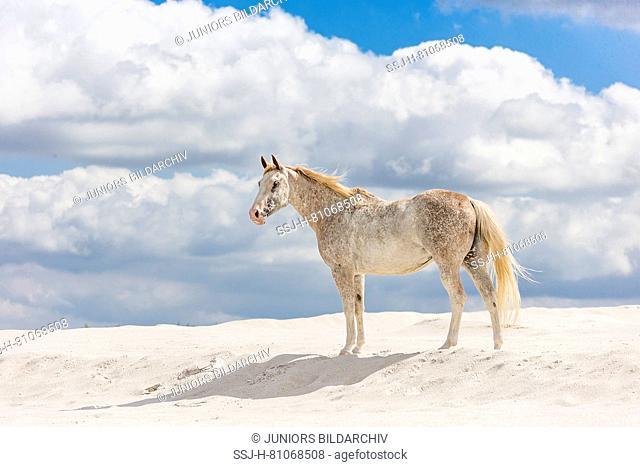 Appaloosa. Mare standing on kaolin sand . Poland
