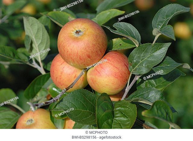 apple tree (Malus domestica 'Evzika', Malus domestica Evzika), cultivar Evzika, apples on a tree