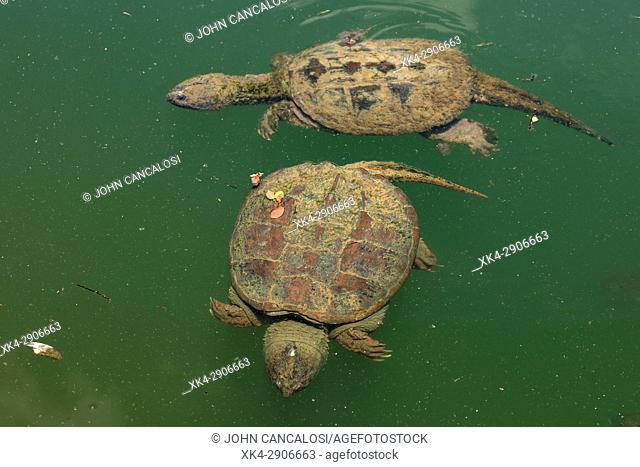 Snapping turtle(s), Chelydra serpentina, Maryland