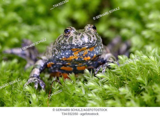 Fire-Billed Toad, Bombina bombina, Schleswig-Holstein, Germany