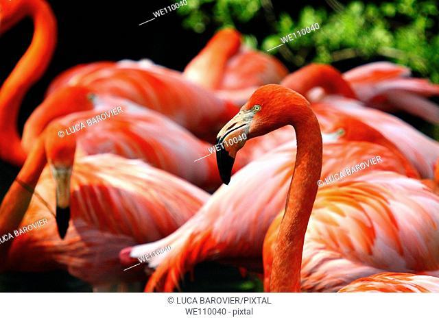 A group of Greater Flamingo Phoenicopterus ruber - Oasi di sant'Alessio, Sant'Alessio, Pavia Italy