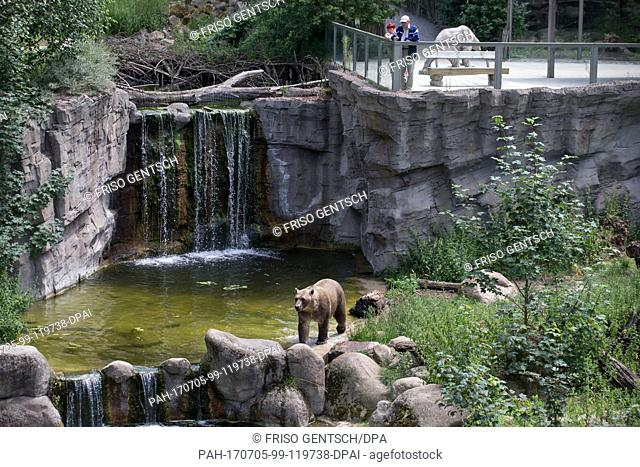 Taps the Grizzly·polar bear hybrid in its enclosure in the zoo in Osnabrueck, Germany, 5 July 2017. The bear's sister Tips escaped from the enclosure on the 11...