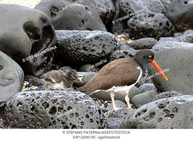 Oystercatcher, Haematopus, Puerto Egas, Santiago Island, Galapagos Islands, Ecuador