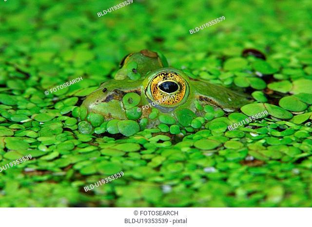 frog, amphibious, eye, edible frog, camouflage, green, amphibian