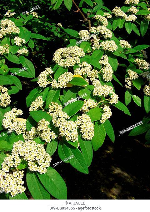 Evergreen Cotoneaster (Cotoneaster x watereri, Cotoneaster watereri), blooming branch
