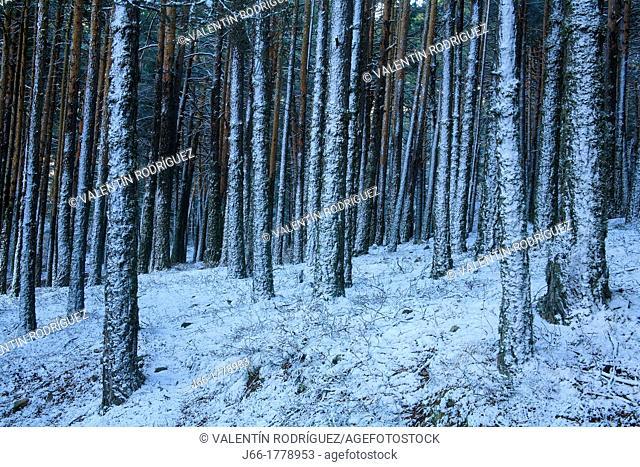 Snowy wooded landscape in the Sierra de Albarracin near of Bronchales  Teruel