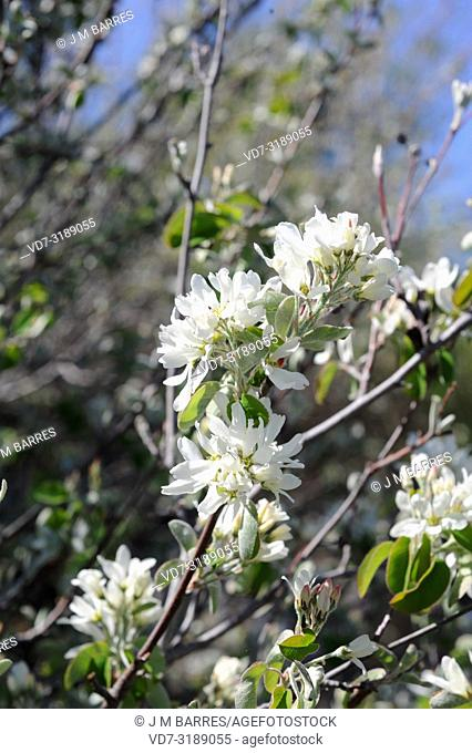 Snowy mespilus (Amelanchier ovalis) is an medicinal deciduous shrub native to central and southern Europe, north Africa and western Asia