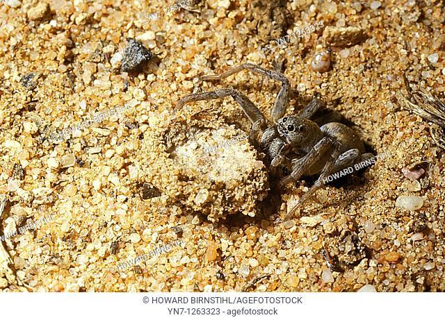 Bathplug Arbanitis spider at entrance of burrow