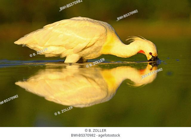 white spoonbill (Platalea leucorodia), adult on the feed in a lake, Hungary