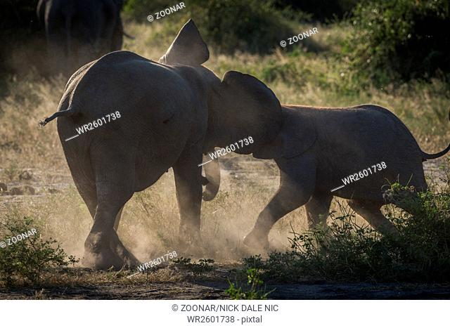 Baby elephants play fighting on dusty ground
