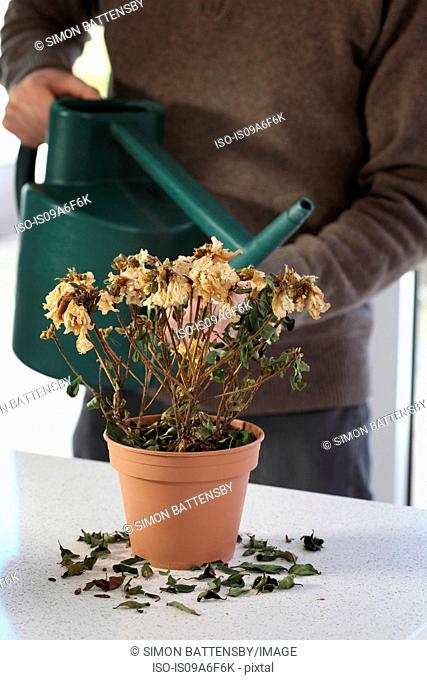 Mature male watering dead houseplant