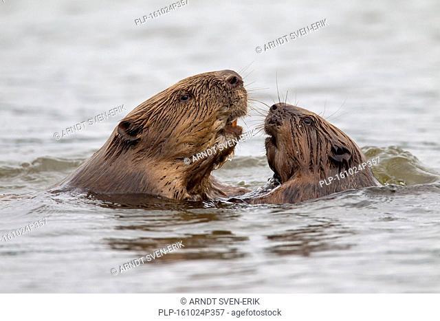 Close up of two Eurasian beavers / European beavers (Castor fiber) adult and juvenile meeting in pond
