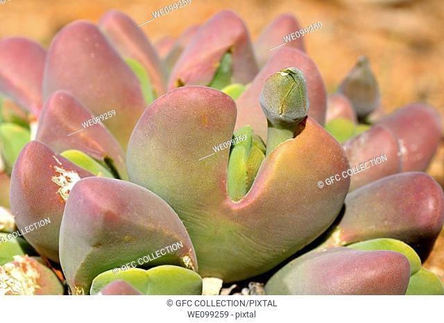 Bokspoortjie, Cheiridopsis pillansii with flower bud, Bokspoortjie, Namaqualand, South Africa
