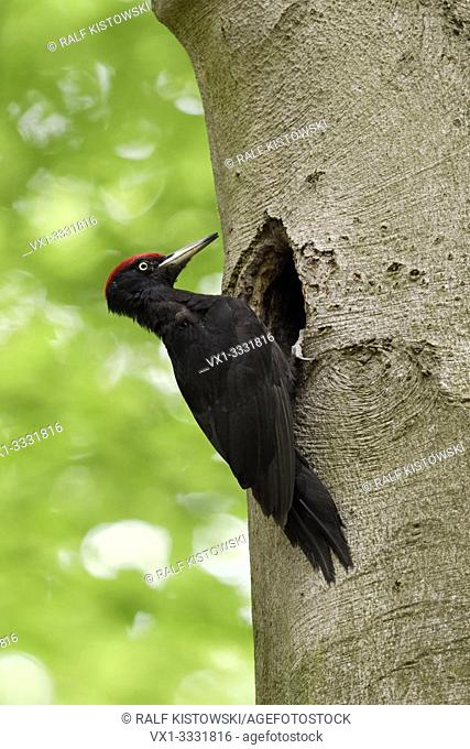 Black Woodpecker / Schwarzspecht ( Dryocopus martius ), male, perched in front of its nesting hole high up in an old beech, watching, wildlife, Europe