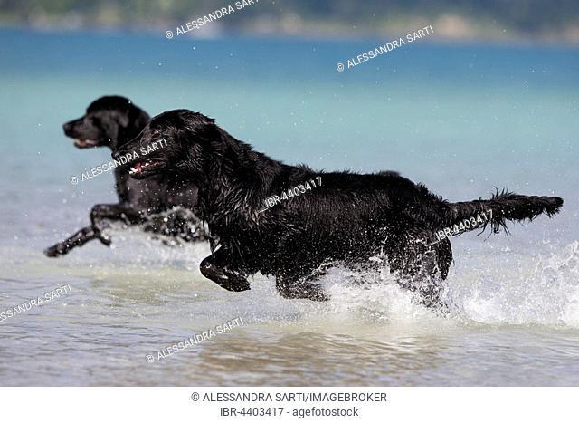 Flat-Coated Retriever and Labrador, black, running through water, Tyrol, Austria