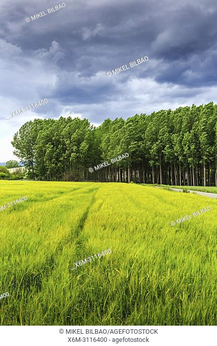 Poplar grove and cereal land. Murieta, Navarre, Spain, Europe