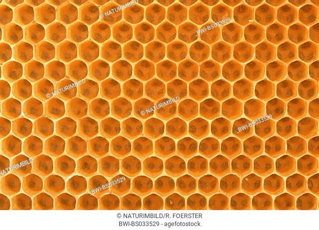 honey bee, hive bee (Apis mellifera mellifera), combs, section from hive frame, Germany, North Rhine-Westphalia, Kattenvenne