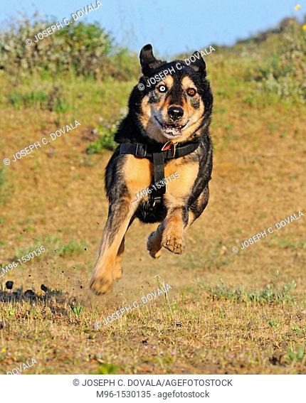 Mixed breed shepherd dog flying through air on full run, Thousand Oaks, California, USA