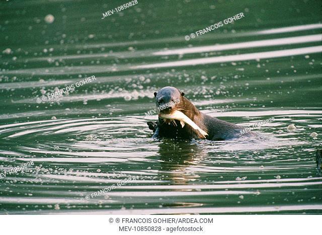 Giant Otter - eating fish (Pteronura brasiliensis). Manu National Park, Peru